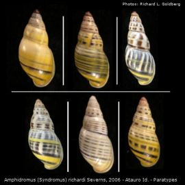 Amphidromus richardi Severns, 2006 - a series of paratypes.
