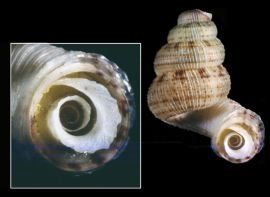 The operculum of Adamsiella jarvisi plugs the aperture of the shell, protecting the snail within.