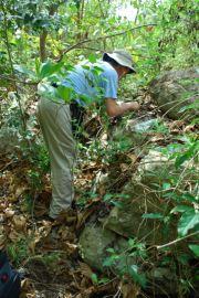 The habitat of Pleurodonte bronni; limestone karst shaded by foliage; Photo: Richard L. Goldberg
