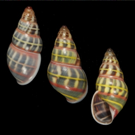 These shells of Amphidromus columellaris from the Tanimbar Islands, Maluku Region, Indonesia show little variation within the population.  Could that balance be tipped by the founder effect?  Photo: Richard L. Goldberg.