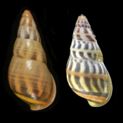 An example of genetic drift.  Left - Amphidromus wetaranus from Wetar Island, Indonesia.  Right - A form of the same species from a small satellite island off Wetar Island.  The red central band found on all specimens of the satellite island form is never found on the Wetar Island form.  Photo: Richard L. Goldberg.