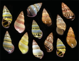 Amphidromus adamsii, an extremely varied ± 1 inch (25mm) tropical land snail species from Sabah that exhibits intra-population variability. Photo: <b>Richard L. Goldberg </b>(copyright 2010) from <b>BiologySource 11</b> by L. Sandner, et. al, published by Pearson Publishing.