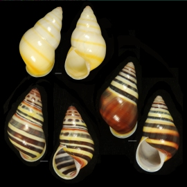 Amphidromus laevus from Timor-Leste. An example of frequency dependent selection where the typical dark banded pattern is occasionally replaced with a unicolored shell. Photo: Richard L. Goldberg.