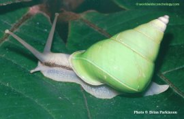 The almost 2 inch endemic Manus Island Green Tree Snail, Papustyla pulcherrima, is one of only a handful of tropical land snails that have a naturally green shell color.  Photo by and courtesy of Brian Parkinson from worldwideconchology.com